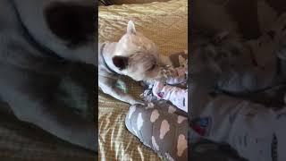 west highland white terrier, вестик, Вест хайленд уайт терьер, собака и ребёнок❤️