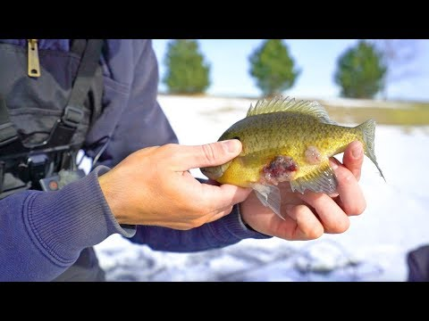 What is WRONG With This Fish? -- (Mutant Fish Caught Under Ice)