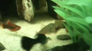 Bulldog Pleco's Dinner Time!