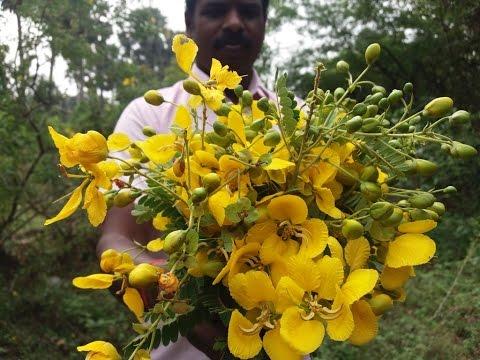 Making Avaram Poo - Tanner's cassia Tea in My Village / Controls Diabetes / Skin Shine