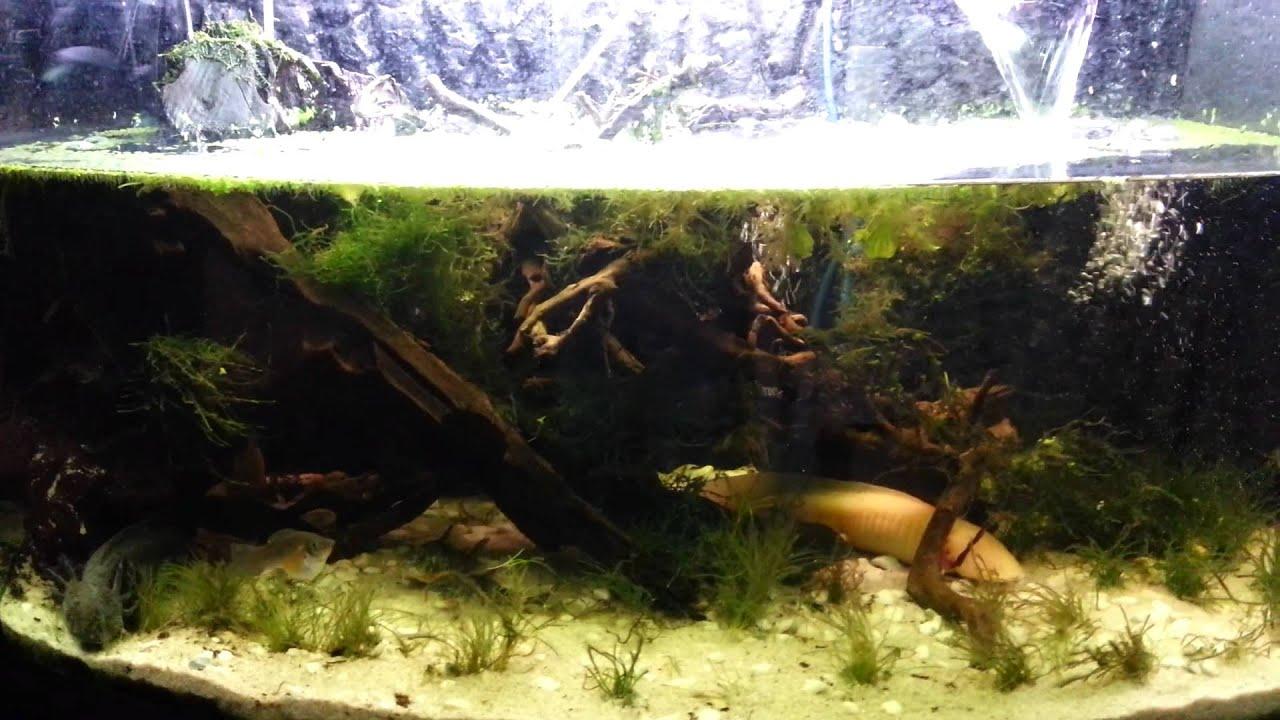 Planted Axolotl... Ludwigia Repens