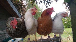 Jakie kury kupić do hodowli