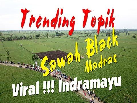VIRAL !!! Rice Black Madras (Sawah atau padi Ungu Tumbuh Subur Di Indramayu jawa barat)