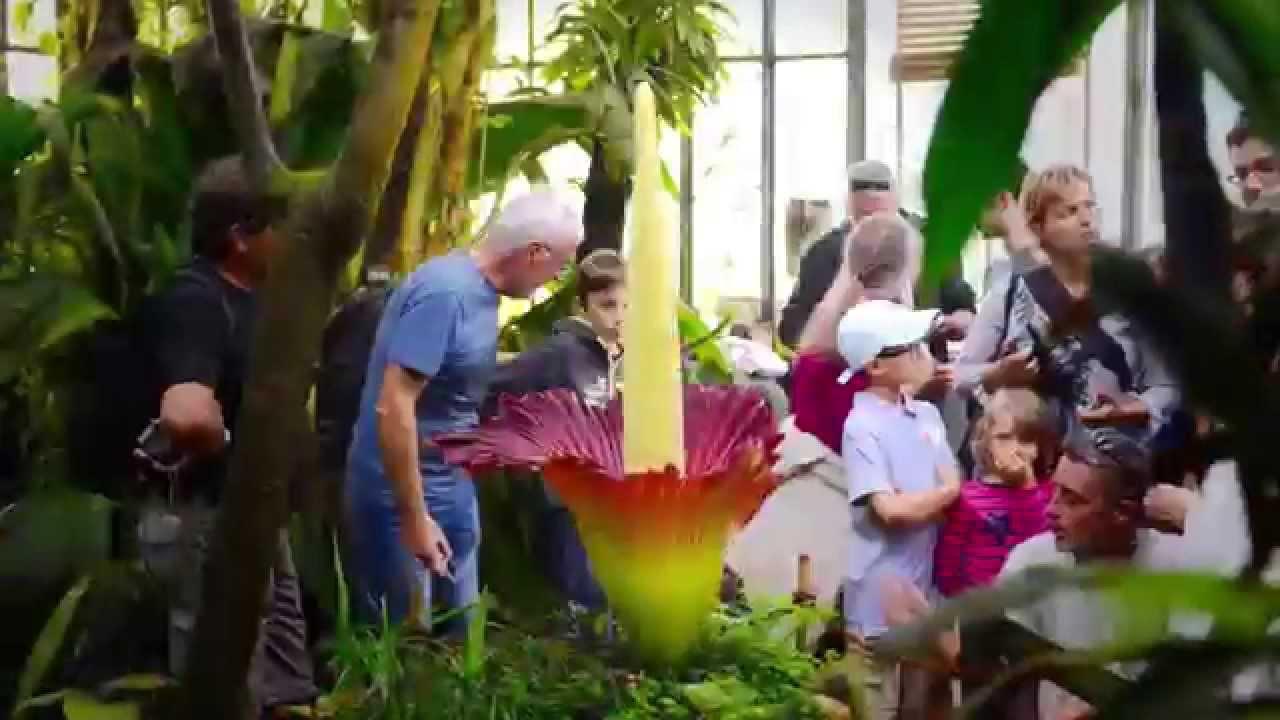 L\'Arum titan au Jardin des Plantes de Nantes