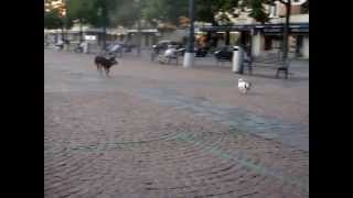 Jack Russell Provoking A German Shepherd Mix
