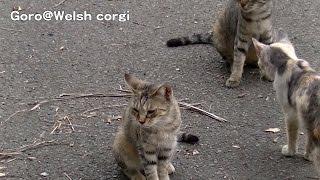 Mew / ニャー 20140924 Goro@welsh Corgi コーギー Cat 猫