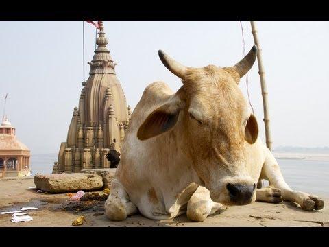 SACRED COWS (POSVÁTNÉ KRÁVY) - rozhovor s Dr. Poshak Patelem