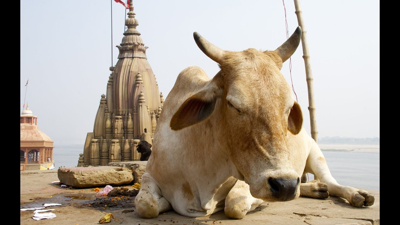 India cracks down on slaughter of sacred cows |Scared Cow