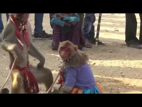 Funniest Monkey Drama in India, Comedy Bandar ka khel, कॉमेडी बन्दर का खेल, मदारी. Rajasthan, India