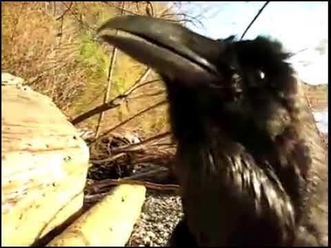 Creepy raven speaking