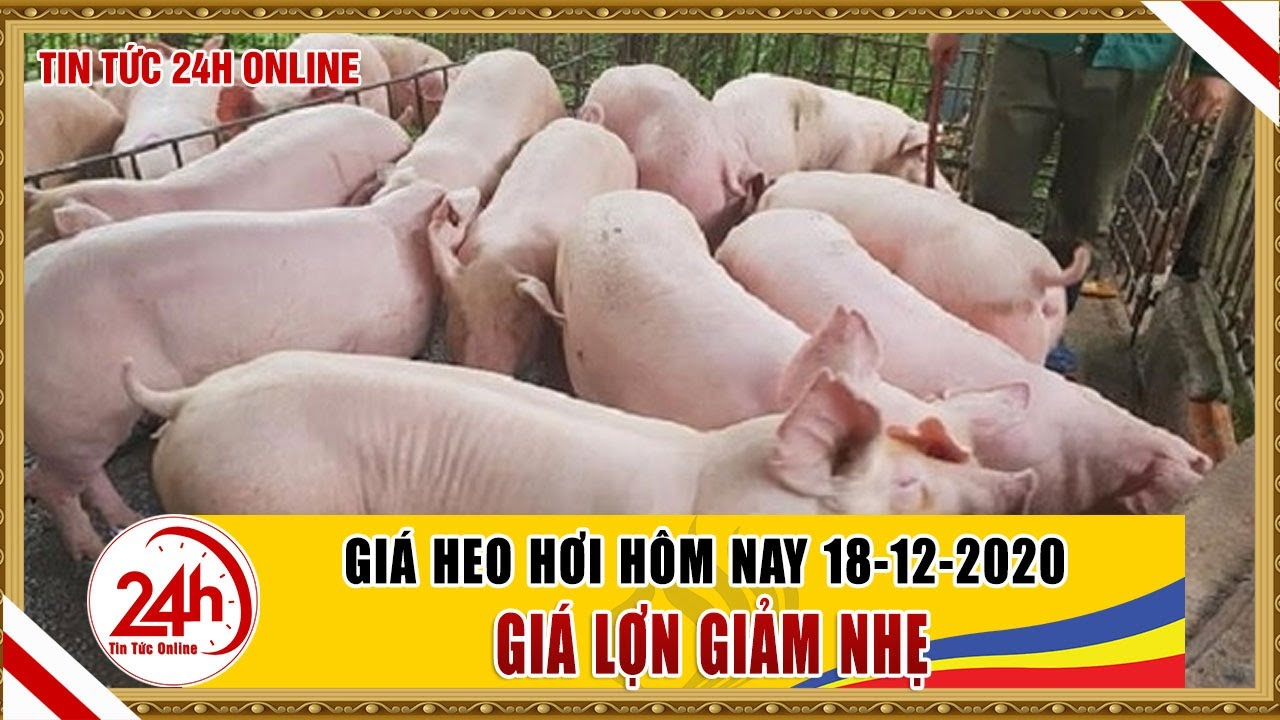 Giá heo hơi ngày hôm nay 18/12/2020 Giá heo hơi thay đổi thế nào  cập nhật giá lợn hơi mới nhất