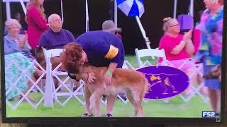Laekenois Winning Best of Breed at Westminster 2021