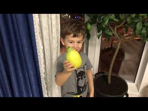 Срываем лимон с нашего дерева! Лимонное дерево , лимон, лимоны #лимонноедерево #лимон #дерево