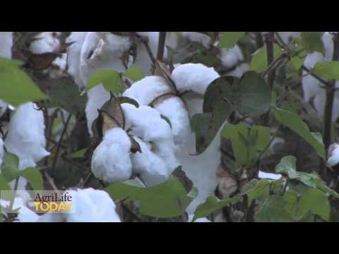 China weaves South Texas cotton crop