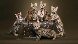 Бенгальские котята, котики Одесса.