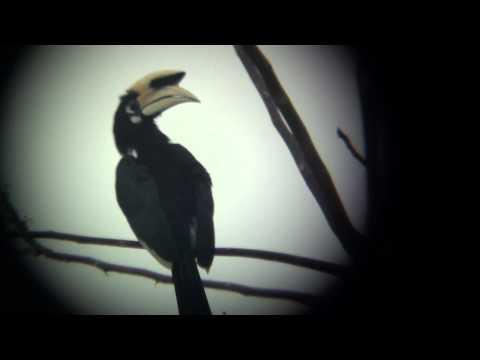 Birds of Thailand - Oriental Pied Hornbill
