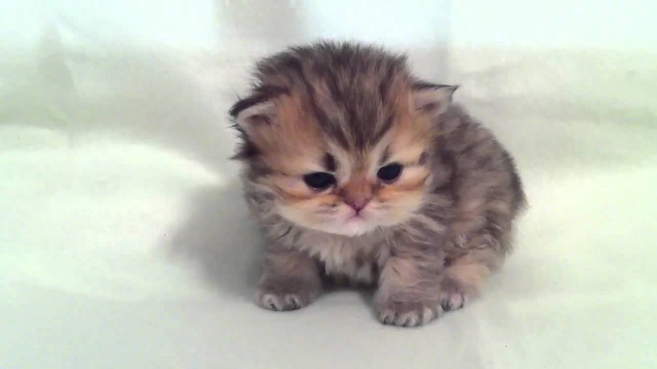 Sage Male Shaded Golden Persian Kitten for Sale From Daphne s