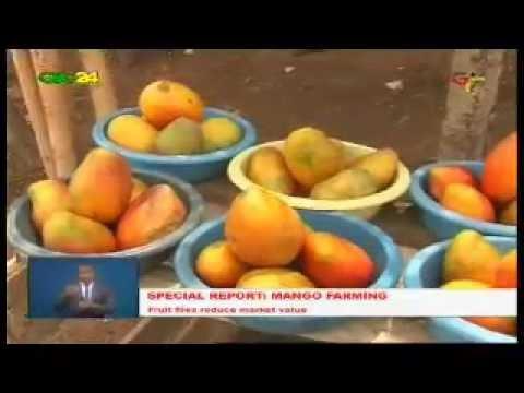 Ghana: Mango Farming