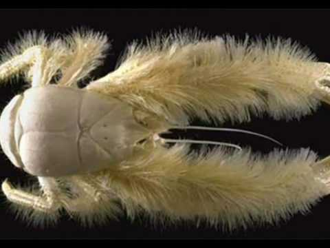 Hydrothermal vents & the Yeti crab.