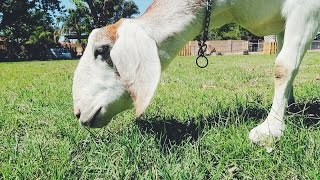 Will a goat MOW your grass lawn?