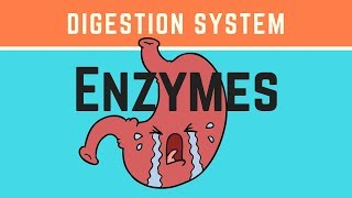 Biology- What are the enzymes of the digestive system?