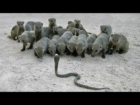 Cobra Vs Mongoose Attack , King Cobta Animals Fight in Zoo !!!