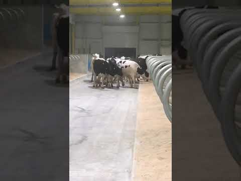 Qatar control sheds started with 4000 cows