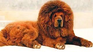 Le razze di cani più costose del mondo
