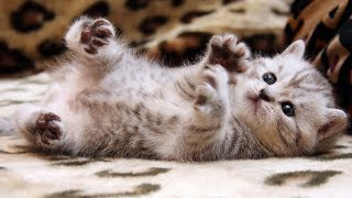 Hall of Fame Cat Movie Collection  - Cute baby animals - Soo Cute - Reverse video