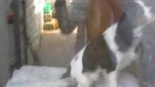 Cavalier King Charles Spaniel Music video