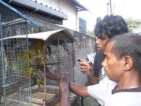 Sri Lanka,ශ්රී ලංකා,Ceylon,Bird Parrot shop