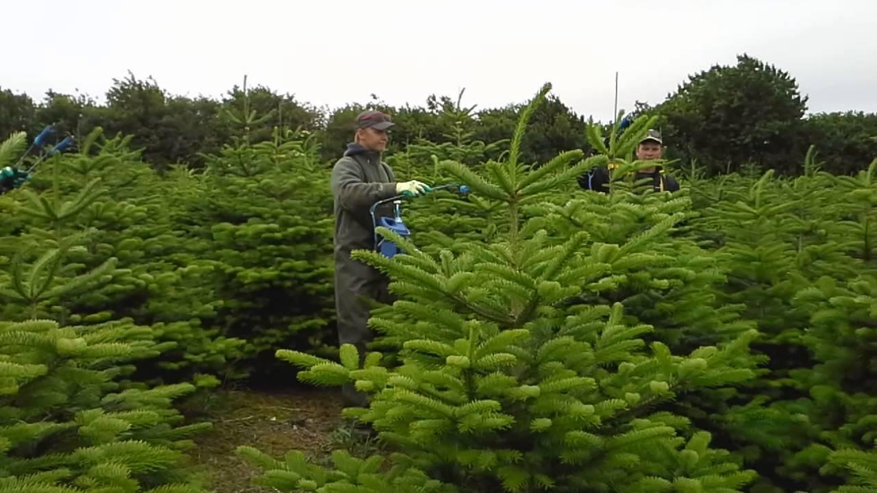 Toptrimming Christmas Trees At Rolles Mølle (Denmark