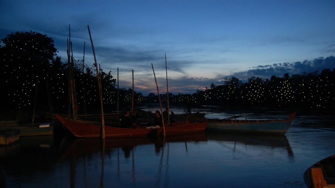 Image result for kuala selangor firefly