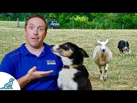 Herding Dogs - Can You Unlock Your Dog's Secret Power?