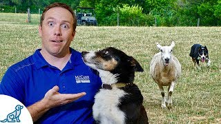 Herding Dogs  Can You Unlock Your Dog's Secret Power?