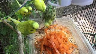 Male Budgies/Parakeets Eating Carrots (Волнистых попугаев)