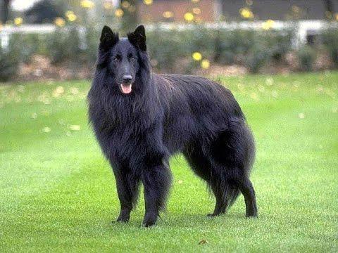 БЕЛЬГИЙСКАЯ ОВЧАРКА ГРЮНЕНДАЛЬ. Belgian Shepherd Dog Groenendael.