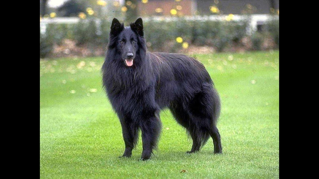 черная бельгийская овчарка фото