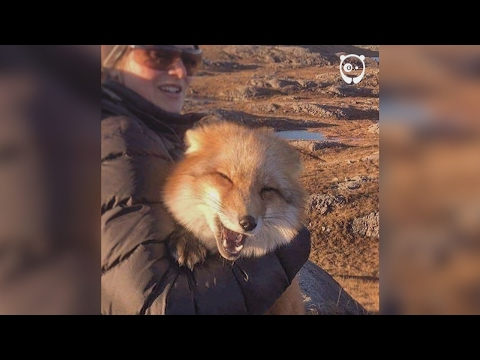 Ayla The Fox was rescued from a fur farm
