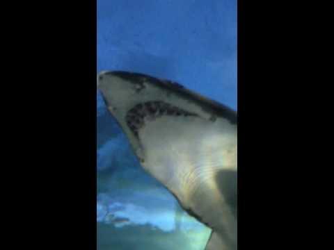 Huge sand tiger sharks