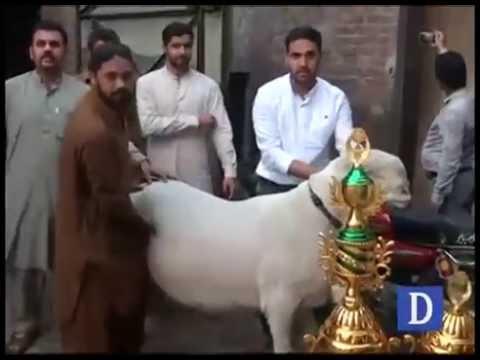 Chatra sacrificial animal in Gujranwala