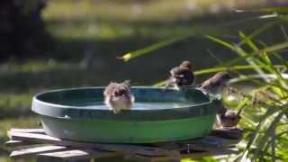 Fairy Wrens Bathing 2