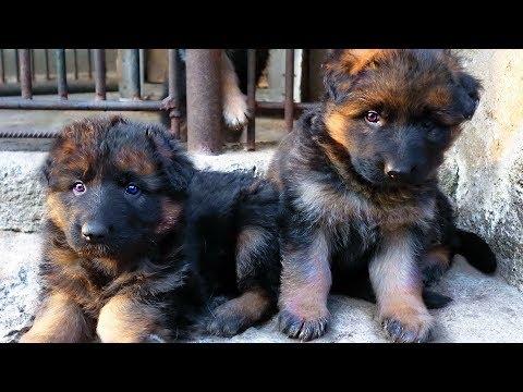 SALE. Щенки Немецкой овчарки от Райда и Дези. German Shepherd Puppies.