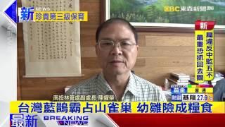 最新》台灣藍鵲霸占山雀巢 幼雛險成糧食