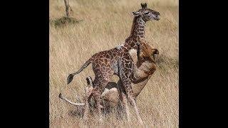 ОПАСНЫЕ ИГРЫ СО ЛЬВАМИ ? Safari-park Badoca -сафари в Португалии |
