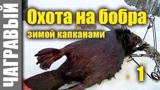 Охота на бобра капканами зимой   10 секретов. Beavers hunting in winter   10 Secrets