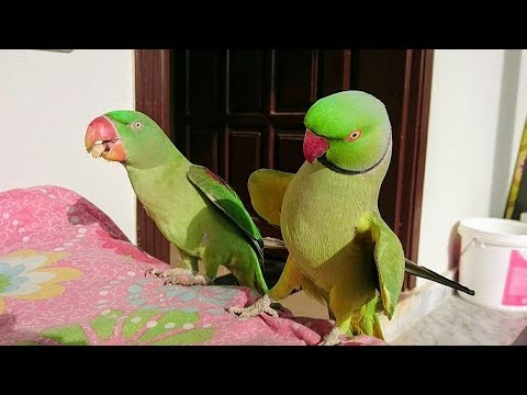 Parrot Talking and Dancing