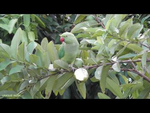 Green Parrot and Bulbul loves eating Guava.টিয়া পাখির পিয়ারা খাওয়ার আসাধারন দৃশা