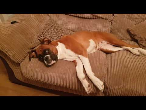 How to Convince a Boxer Dog...