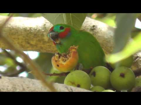 Double-eyed Fig Parrot ? (Cyclopsitta diopthalma macleayana)